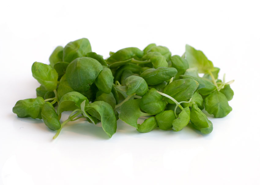 How Long Do Basil Microgreens Last After Harvest