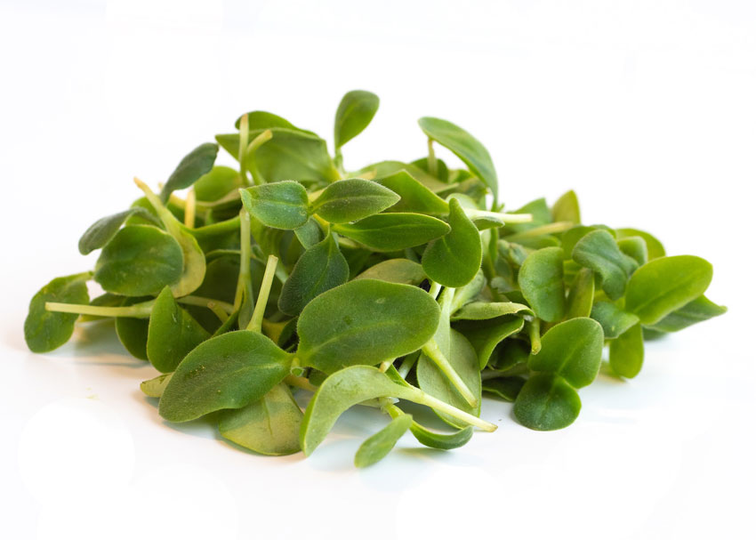 Infinite Harvest's refreshing starflower microgreen, also known as borage, has thick and crunchy leaves that will give your microgreens recipes the added taste of delicious cucumbers.