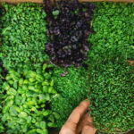 How Long Do Microgreens Last After Harvest?